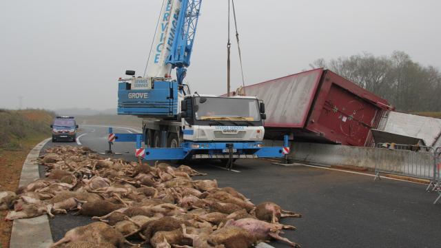 Accident près d'Angers. Un camion de moutons se renverse sur la 4 voies