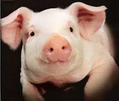 Accident sur l'A10 : chasse aux cochons et autoroute coupée plusieurs heures